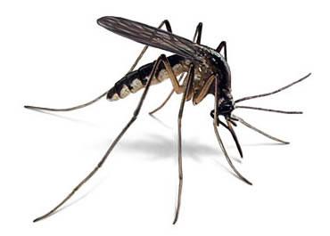 Les principales esp ces de moustique en france france for Combattre les moustiques dans le jardin